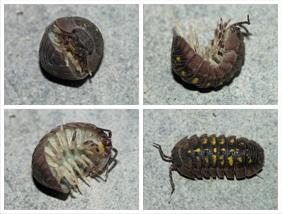 Adana tespih böceği ilaçlama